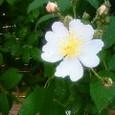 薔薇が咲いた〜♪