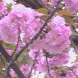もう一つの桜